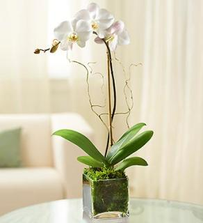 White Phalaenopsis Orchid- Waterfall